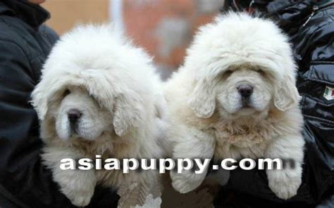 white tibetan mastiff puppies for sale tibetan mastiff white puppies for sale for sale adoption in singapore adpost