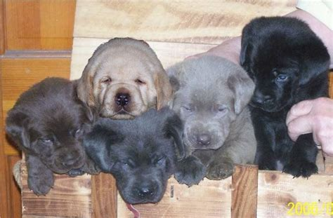 labrador colors silver labrador puppies for sale in ta florida all