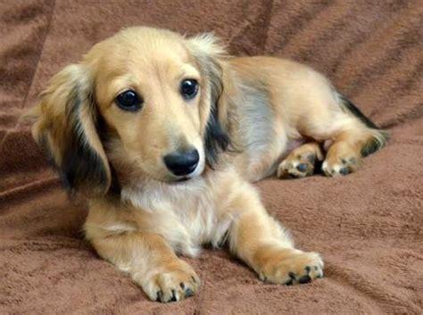 golden weiner golden dox golden retriever x dachshund mix info puppies pictures