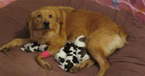 spotted golden retriever proud confused when she gives birth to four baby cows