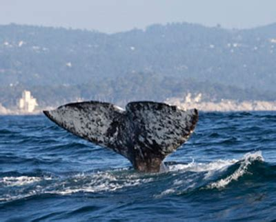gray whale migration route about this observation post
