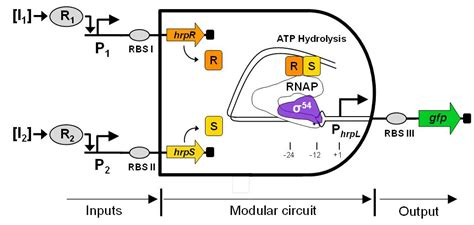 synthetic circuits integrating logic and memory in living cells synthetic circuits integrating logic and memory in living cells 28 images integrated gene