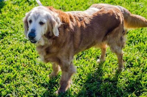 golden retriever rescue league minnie farrah 3366 golden retriever rescue of mid florida
