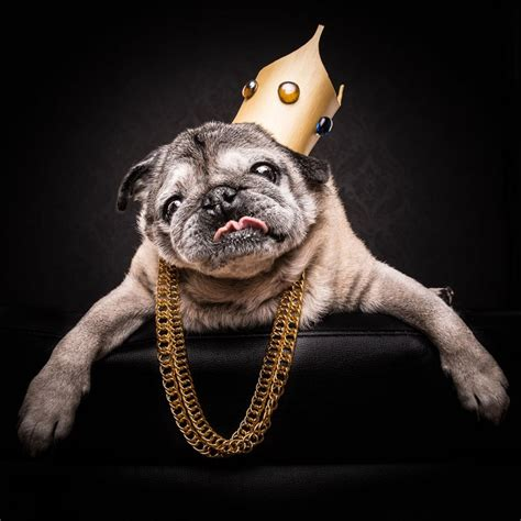 pug websites aussie photographer turns dogs into hip hop royalty in the pug series
