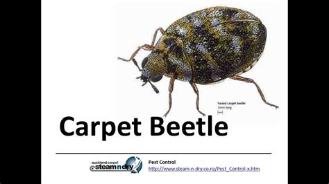Carpet Beetle Vs Bed Bug by Pest How To Treat Carpet Beetle