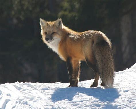 fox looking order adipex p