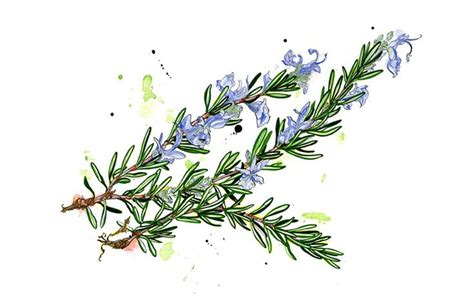 watercolor tattoo oberösterreich 18 best aromatiques images on botanical