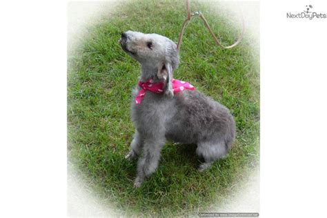 Non Shedding Terriers by Meet Pearll A Bedlington Terrier Puppy For Sale For 1 250 Beautiful Non Shedding