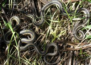 Types Of Garden Worms - reptiles animals of northern new york