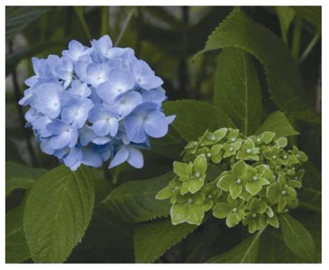 typical symptoms in a phytoplasma infected hydrangea right called phyllody a healthy