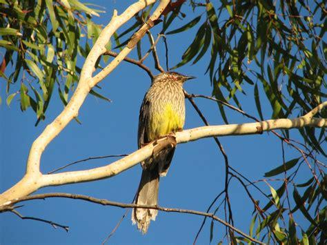 red wattlebirds nesting trevor s birding