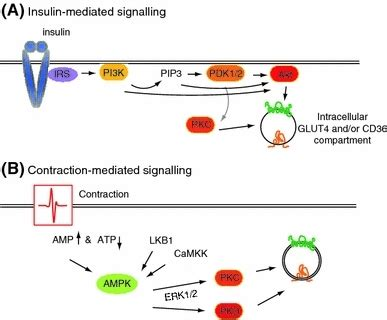 4 proteins involved in contraction signaling proteins involved in insulin stimulated a a