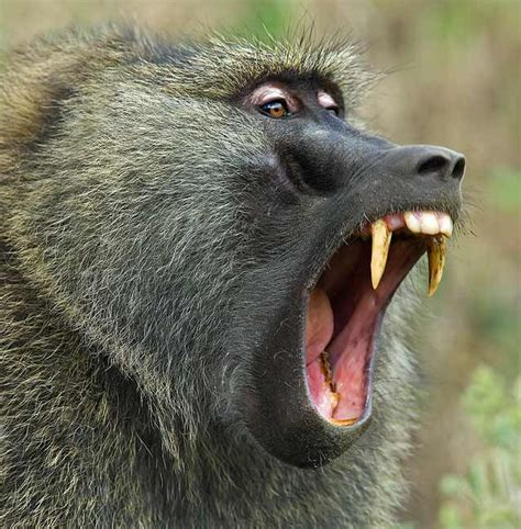 olive baboons  omnivores meaning   eat  meat  plants  obtain  energy