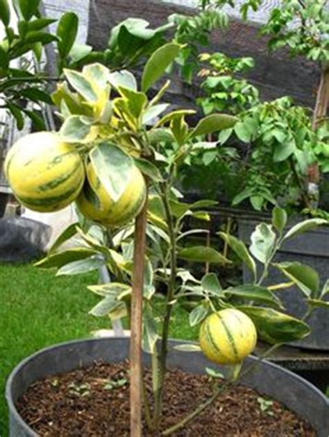 Bibit Benih Seeds Buah Markisa Hijau Green Fruit aneka tanaman buah langka bibit buah eksotis bibit tanaman buah bersertifikat bibit tanaman buah