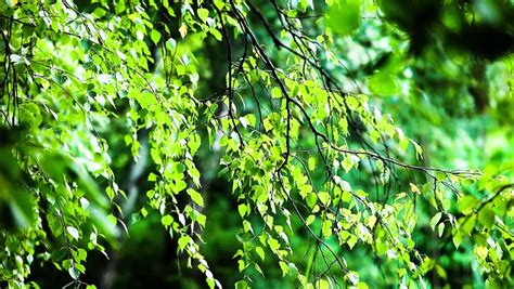 olive garden greentree olive green tree growing in the garden background hd 1080 stock footage