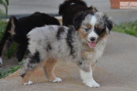 australian shepherd puppies kansas pin australian shepherd puppies for sale on