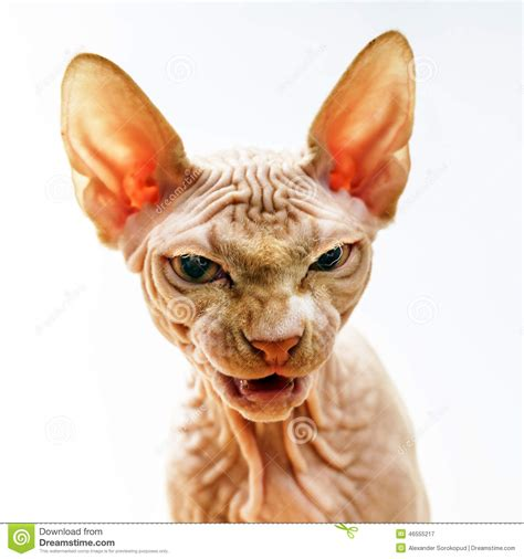 Horror Face Portrait Of Sphynx Cat Stock Photo   Image