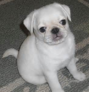 puppy 6 pug vs pug books top 25 ideas about ma pugs white buster black tula brown