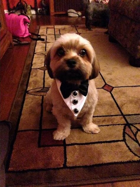 tuxedo for yorkie tuxedo or cat wedding collar wedding or pet wear neck wear formal