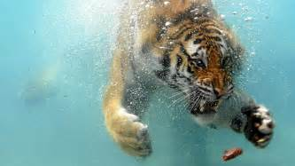 Swimming tiger hd wallpaper 187 fullhdwpp full hd wallpapers