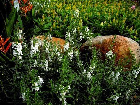 Tanaman Angelonia Putih mytaman ilhamnurani tanaman landskap tumbuhan renek berbunga siri 2