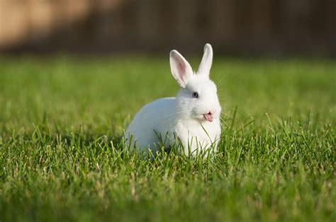 coniglio da appartamento bunnies sticking their tongues out broadsheet ie