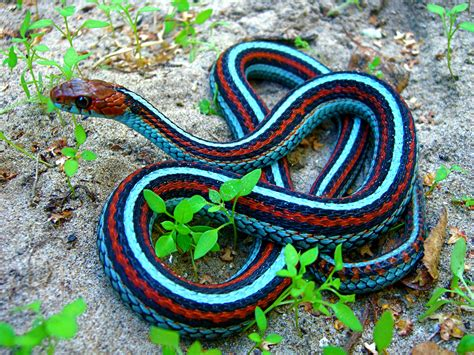california red sided garter snake sneks