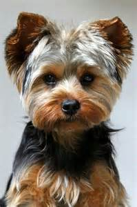 yorkie hairstyles photo gallery 45 best images about chiens on pinterest chihuahuas