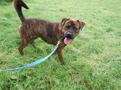 rottweiler x lurcher tyson the rottie boxer x needs a new home dawg