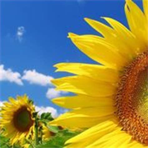significato girasole nel linguaggio dei fiori significato fiori di pesco linguaggio dei fiori
