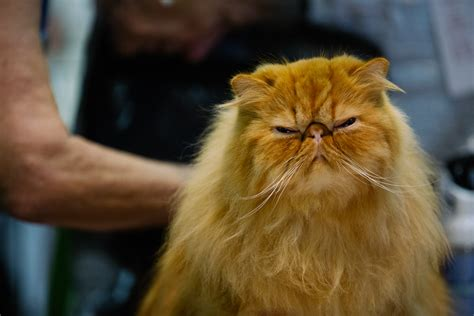 cat and show the international cat show brings feline faces to the northwest seattle refined