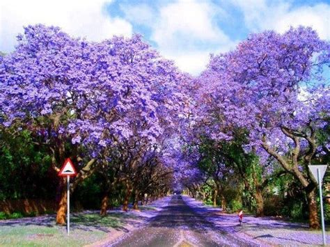jarcanda trees sydney australia purple plum perfect