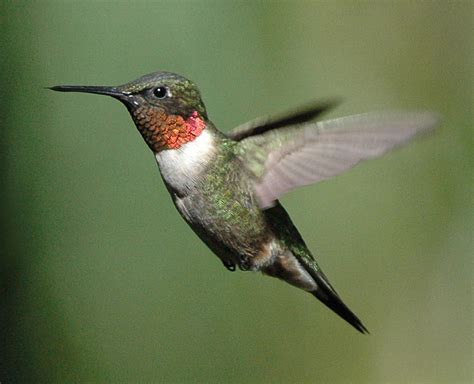 best 28 when do hummingbirds return to indiana ruby