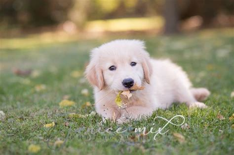golden retriever puppies in ontario baileymistgoldens golden retrievers puppies breeders mulmur ontario canada