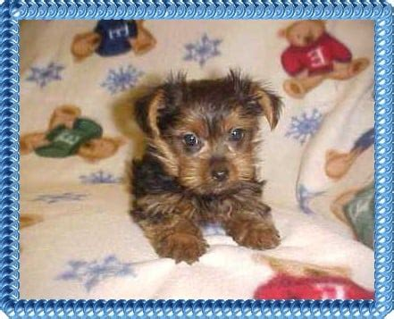 pats precious puppies pats precious puppies services pour animaux 1500 saddle club rd ridgeway sc
