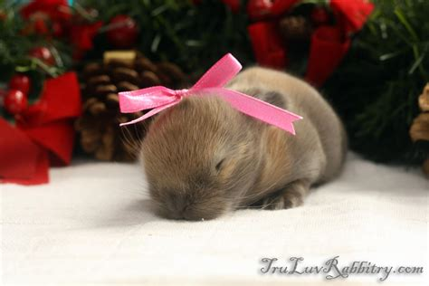 images of christmas rabbits christmas bunnies tru luv rabbitry quality holland lops