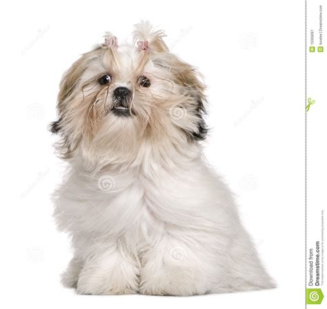 shih tzu 7 months shih tzu 18 months lying with royalty free