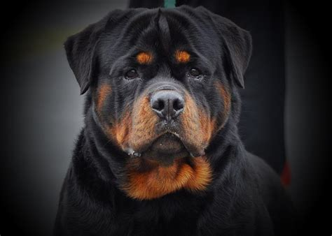 rottweiler puppies colorado rottweiler puppies colorado adoption breeds picture pets world