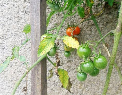 Bibit Buah Ceri 6 varietas baru tomat ceri bebeja