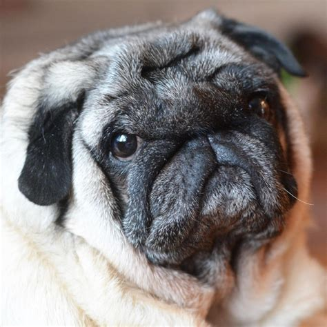 my pug pedigree dogs exposed the my pug boo loved to