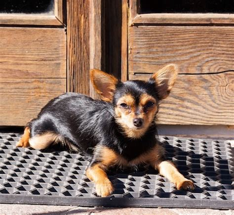 yorkie chihuahua mix weight chorkie chihuahua yorkie mixe breed profile what you need to