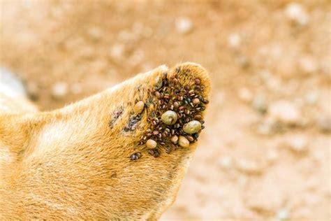 zecken im haus zecken und milben serie im reich der parasiten teil 1