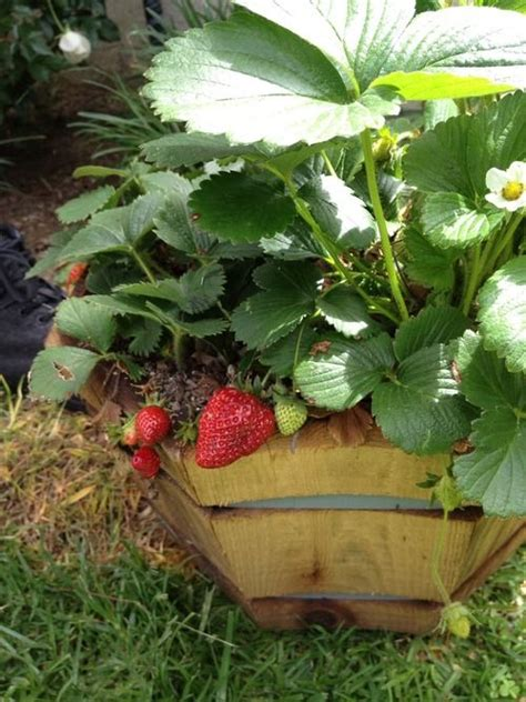 container gardening strawberries 17 best images about gardening trees on