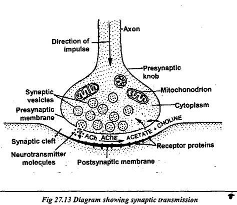 Synaptic Knob Definition by Synaptic Knob