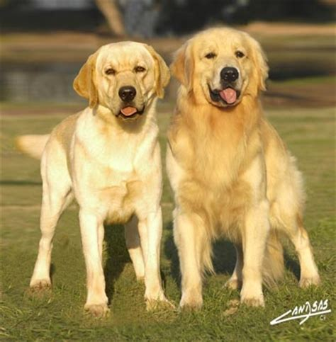 labs vs golden retrievers golden retriever vs labrador retriever breeds picture