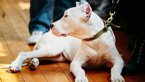 how can a live with laryngeal paralysis dogo argentino breed information facts and pictures dogtime