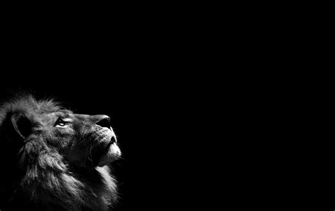wallpaper black lion white lion backgrounds wallpaper cave