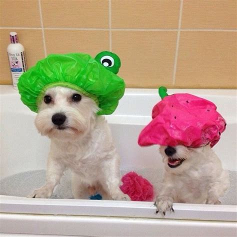 dogs in a bathtub position 25 reasons why westies are our besties
