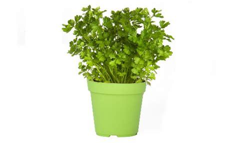 prezzemolo in vaso pianta di prezzemolo comune in vaso 216 14 cm savini vivai