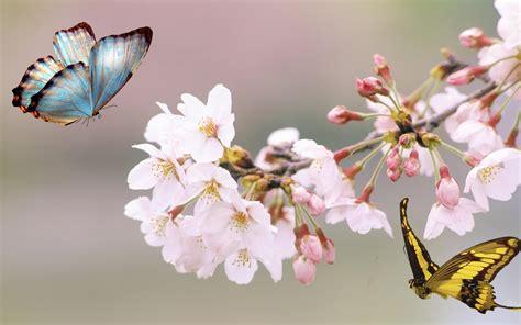 japanese cherry blossom desktop wallpaper wallpapersafari